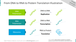 From DNA to RNA to protein translation graphics