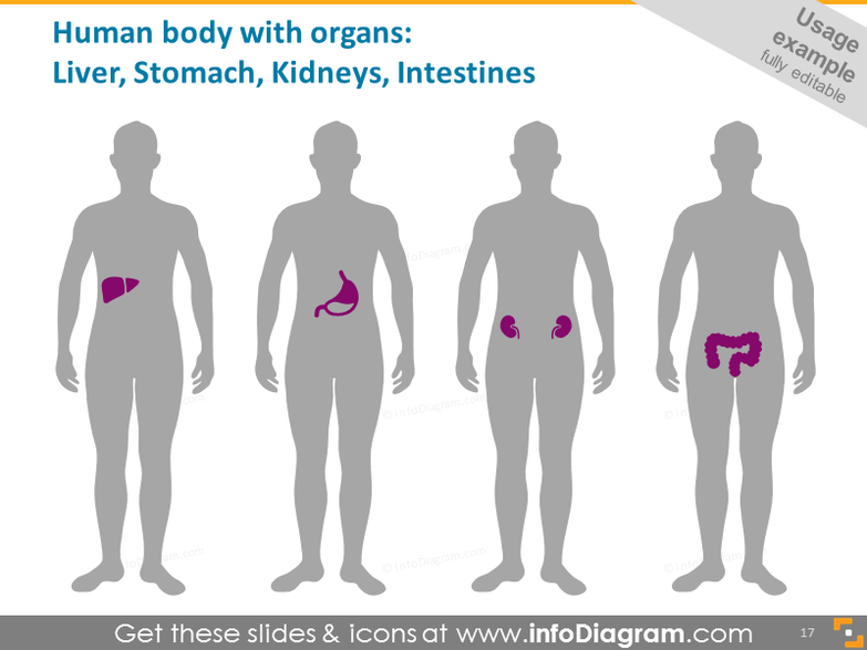 Human Body with Organs example:Liver, Kidneys, Stomach, Intestines