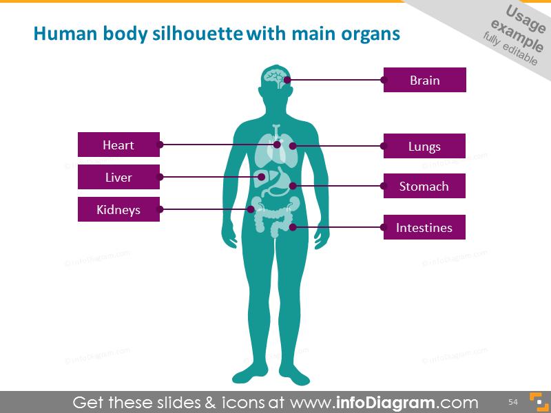 Human silhouette, main organs
